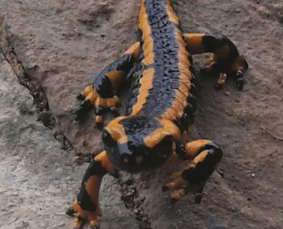 SALAMANDRA-cobijo